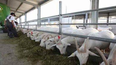 تصویر از پرورش گوسفند سانن یک ایده سودآور + طرح توجیهی سال 99
