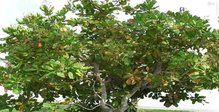 تصویر طرح کاشت و پرورش بادام هندی