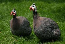 تصویر از طرح پرورش مرغ گینه (مرغ شاخدار)