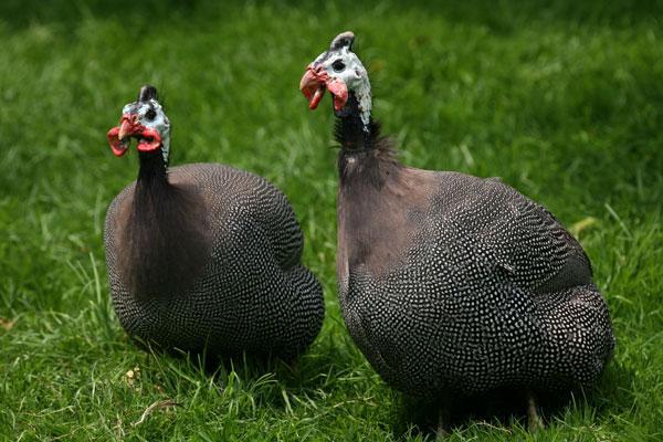 تصویر مرغ گینه