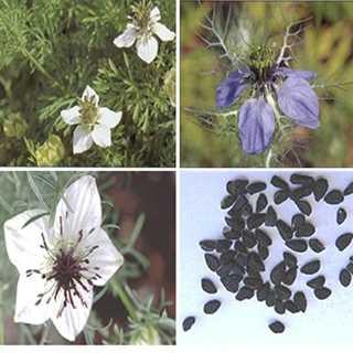 گیاهشناسی سیاه دانه
