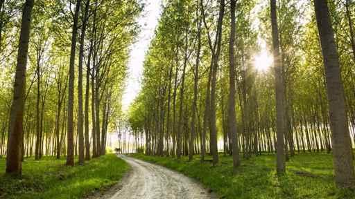 تصویر ویژگی های درخت صنوبر