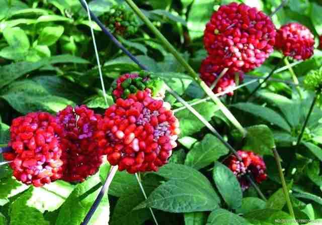 تصویر گیاه جین سینگ