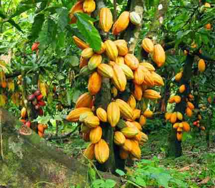 تصویر درختان کاکائو