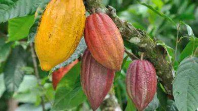 تصویر از آموزش رایگان کاشت و پرورش درخت كاكائو بصورت کامل
