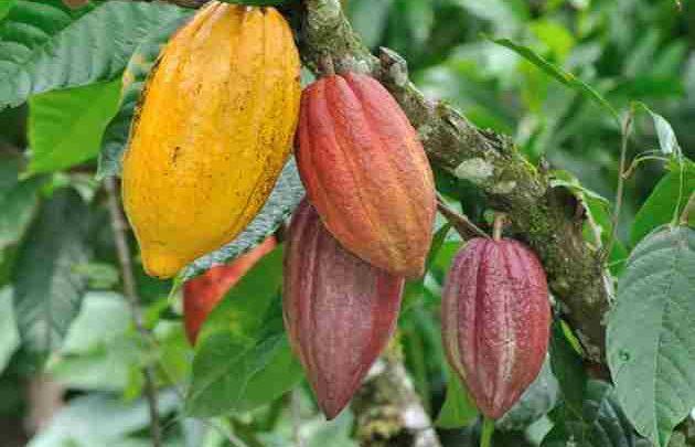 تصویر طرح کاشت درخت كاكائو