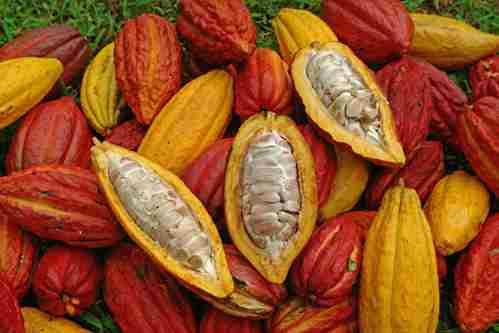 تصویر میوه درختان کاکائو