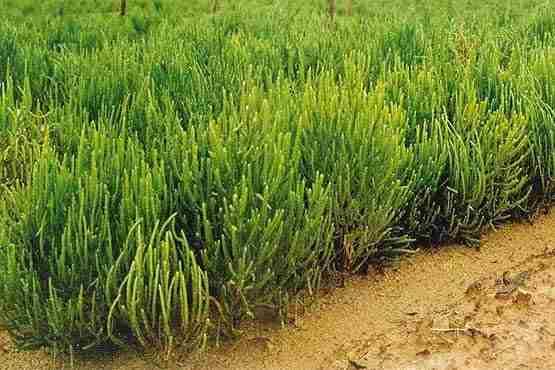 تصویر گیاه سالیکورنیا
