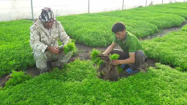تصویر طرح کاشت گیاه استیویا