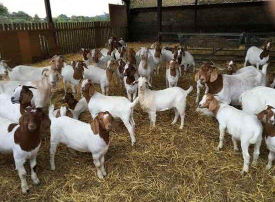 طرح پرورش گوسفند و بز (دام سبک) و تولید شیر با سودآوری زیاد