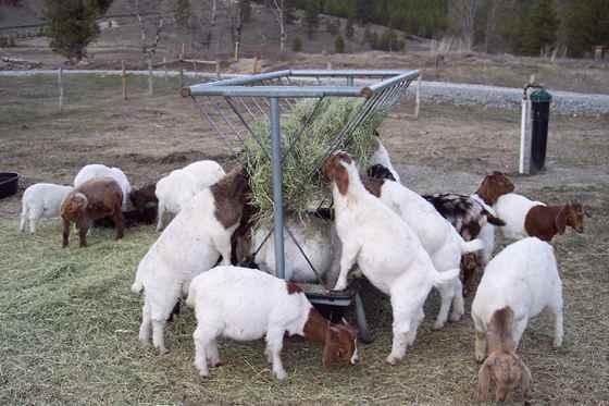 تصویر طریقه سرمایه گذاری در پرورش گوسفند و بز