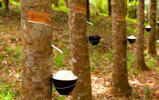 مقاله آموزش پرورش درخت کائوچو و کاربرد های فراوان آن
