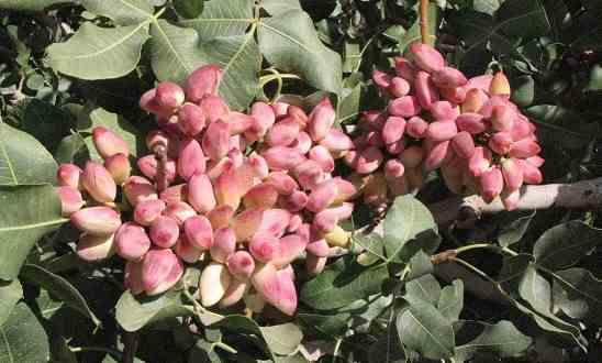 تصویر محصول در طرح کاشت درخت پسته