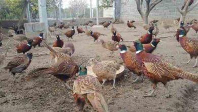 تصویر از آموزش رایگان طرح تولید و پرورش قرقاول بصورت کامل