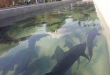 تصویر از ماهیان خاویاری و آموزش تولید و پرورش آن + طرح توجیهی