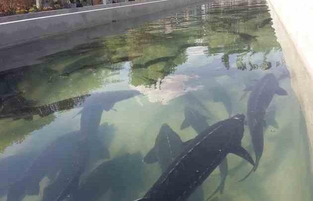 ماهیان خاویاری و تولید و پرورش آن