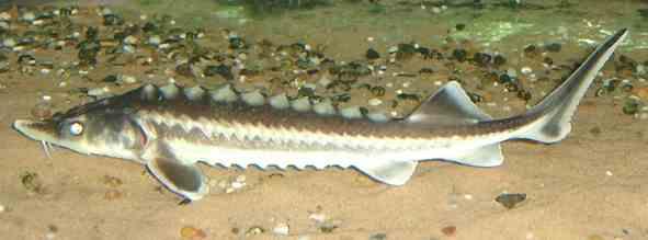 تصویر تاس ماهی سیبری برای پرورش ماهیان خاویاری