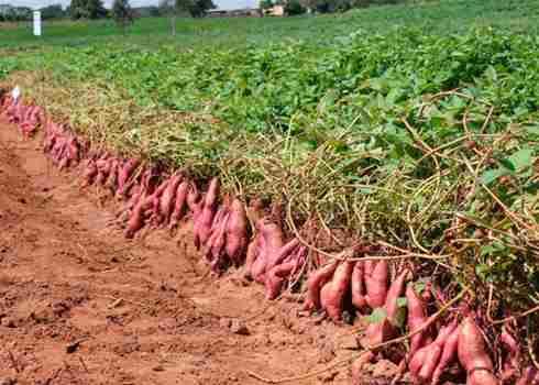 تصویر بوته های سیب زمیني شیرین