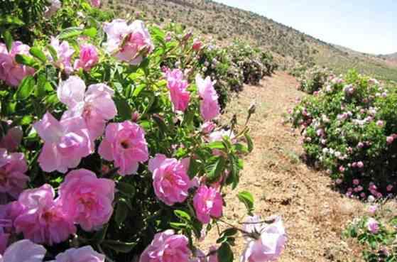 آموزش کاشت گل محمدی