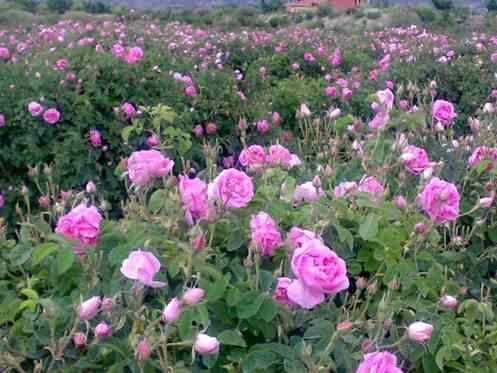 تصویر کشت گل محمدی