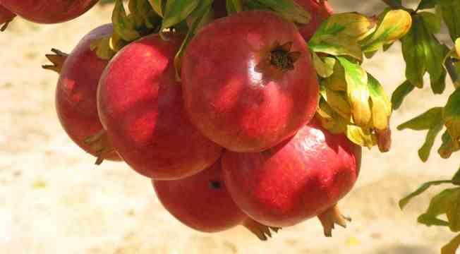 آموزش طرح کاشت و پرورش انار