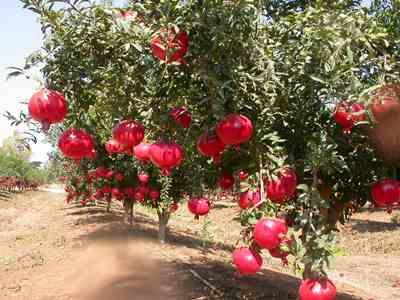 تصویر باغ انار