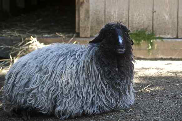 تصویر پوست گوسفند قره گل چه فرقی با پوست دیگر بره ها دارد