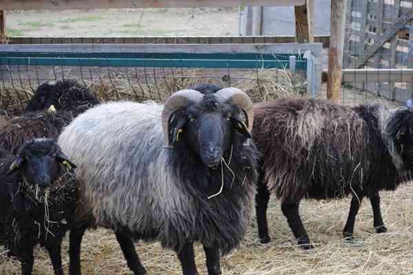 آشنایی با پرورش گوسفند قره گل