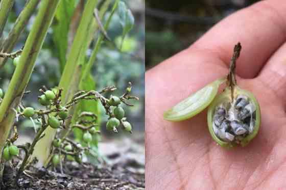 تصویر گیاه هل