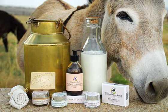 تصویر پرورش الاغ شیری و تولید گرانترین پنیر از شیر این حیوان