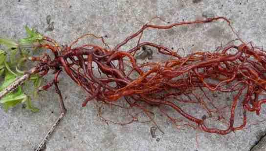 تصویر ریشه گیاه روناس