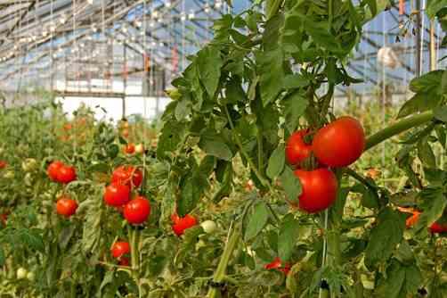 تصویر گلخانه گوجه فرنگی