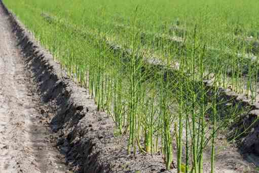 تصویر کاشت گیاه مارچوبه