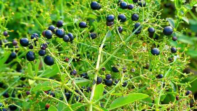 تصویر گیاه روناس