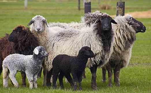 تصویر گوسفند قره گل