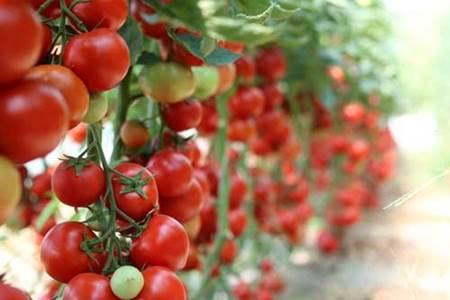 کشت گوجه فرنگی گلخانه ای