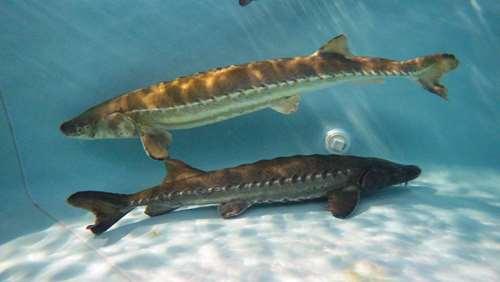 تصویر پرورش ماهی خاویاری
