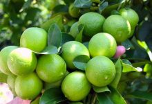 آموزش کاشت لیمو ترش