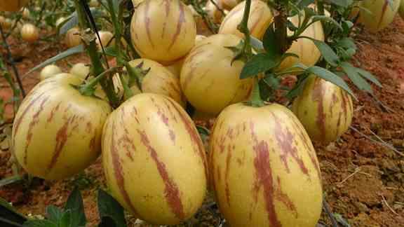 اهمیت پرورش گیاه پوپینو