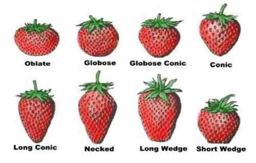 تصویر انواع توت فرنگی