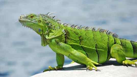 ایگوانای سبز در طرح پرورش حیوان خانگی