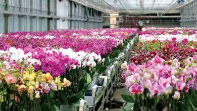 Photo of کاشت و پرورش گل ارکيده ، گلی گرانقیمت و پرسود