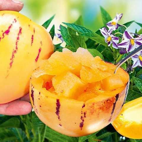 پرورش گیاه پوپینو و مصارف غذایی میوه آن