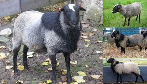 پرورش گوسفند رومانف