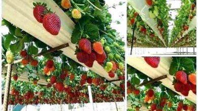 Photo of آموزش طرح پرورش و کاشت توت فرنگی با انواع واریته های آن
