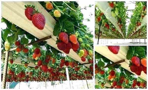 آموزش کاشت توت فرنگی
