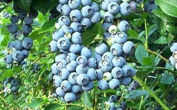 پرورش بلوبری و گیاهشناسی آن