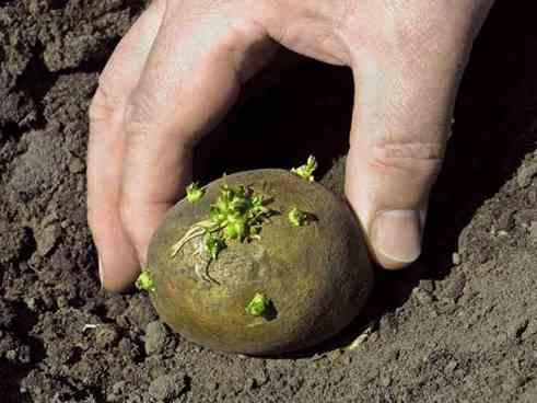 تصویر چشم سیب زمینی