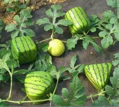تصویر تولید هندوانه با اشکال غیر متعارف