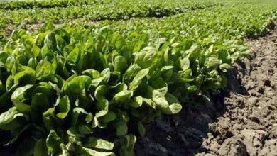تصویر از آموزش کاشت گیاه اسفناج